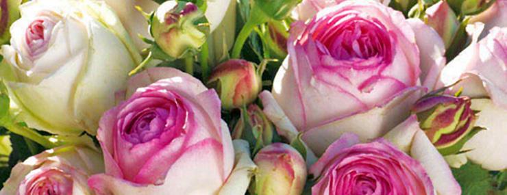 weiss-rosa Rosen