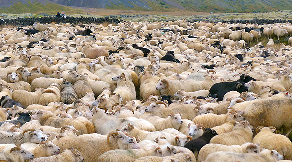 sheep gahtering, Iceland